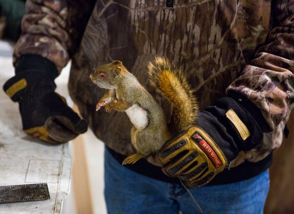 Frozen red squirrel