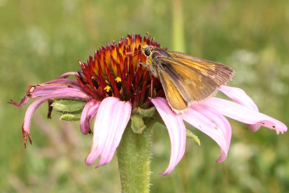 Female Dakota skipper butterfly