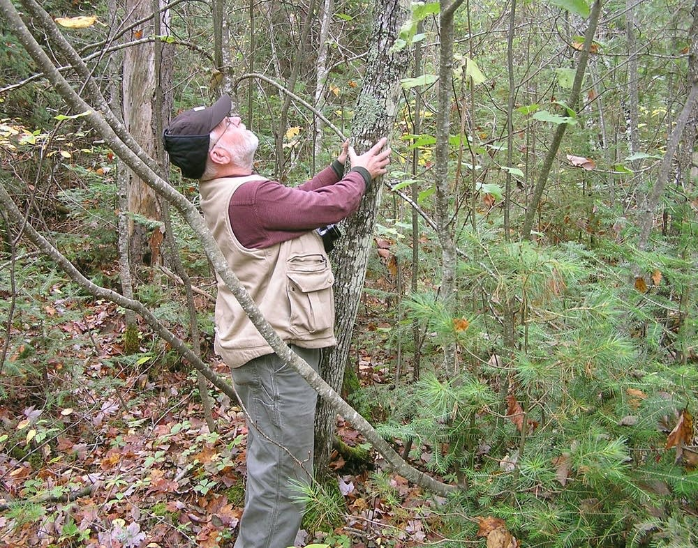 Naturalist Bill Tefft of Ely examines a red maple.