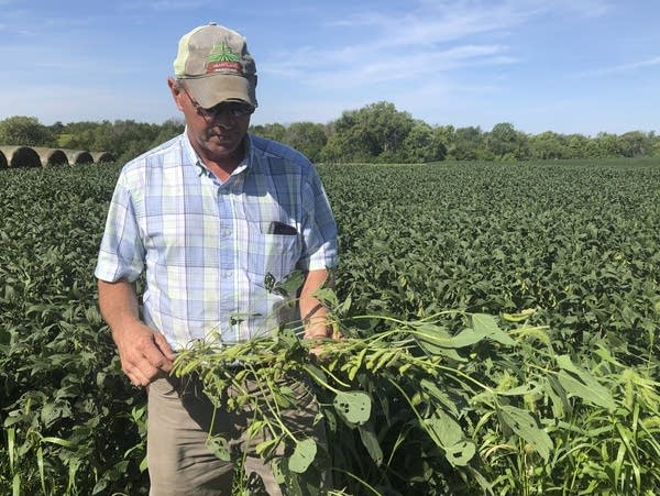 Farmer Randy Miller is shown with his soybeans at his farm in Lacona, Iowa