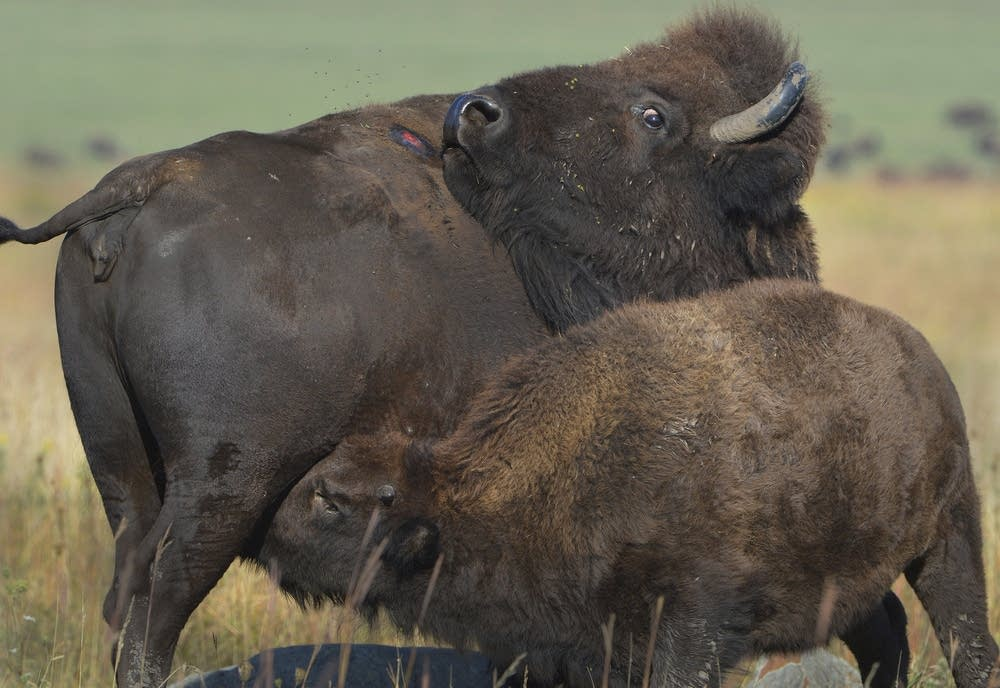 A bison cow with her calf.