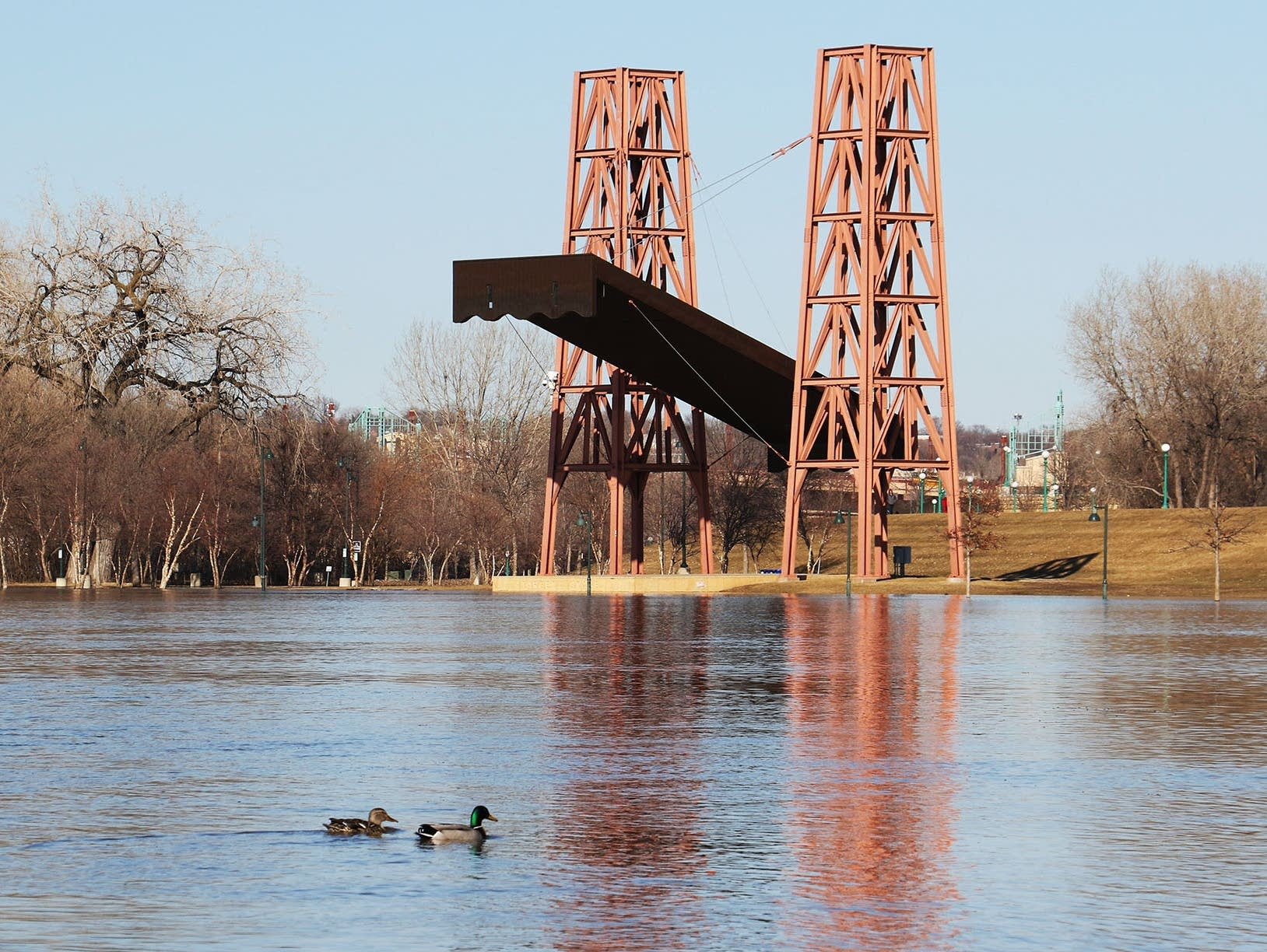 Ducks paddle on the floodwaters of the Mississippi River