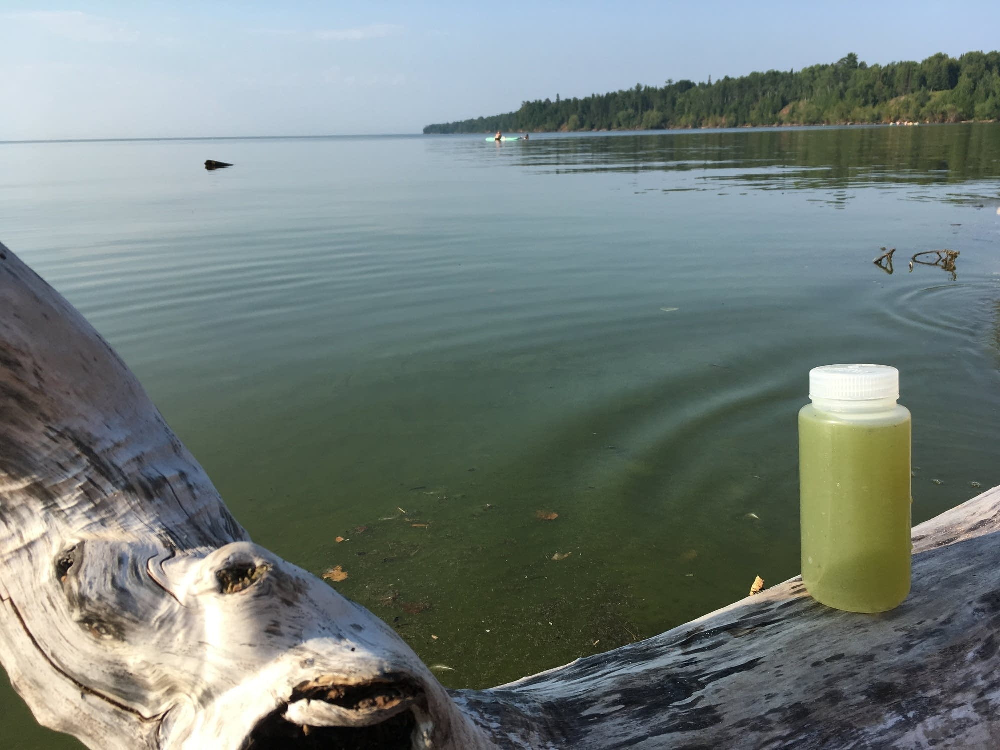 Researchers are investigating a major algal bloom that surfaced last week.