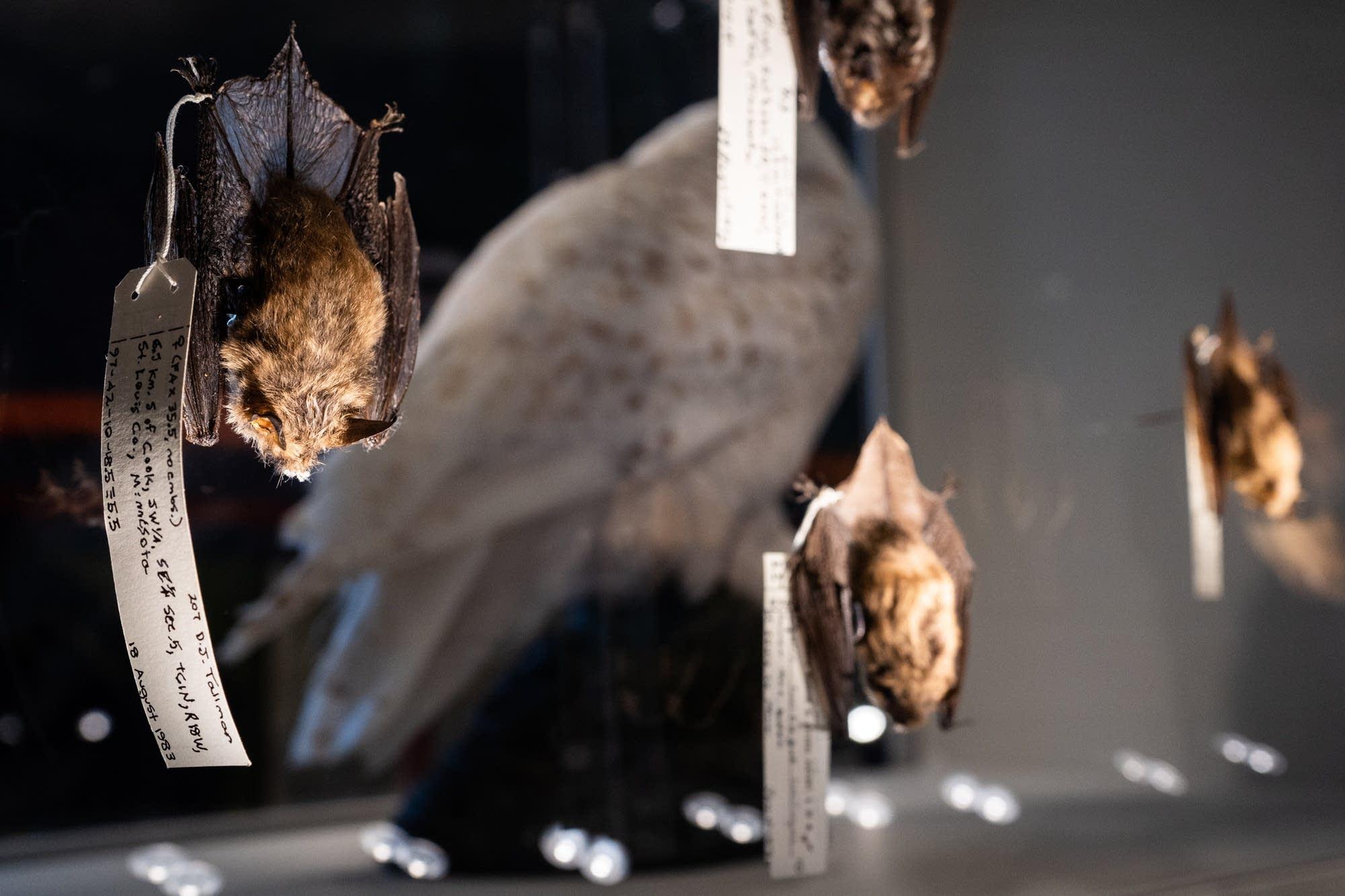 A northern long-eared bat hangs in an exhibit.