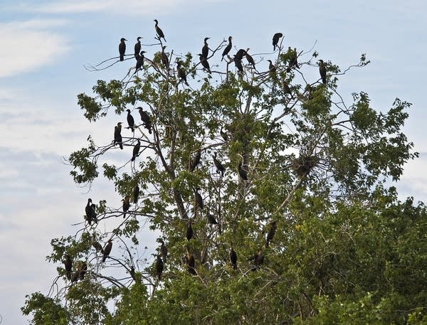 A rookery with a tree full of cormorants