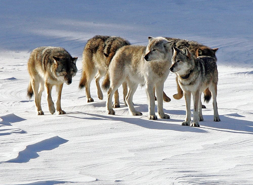 A recent story on the Isle Royale wolf population left out a climate link.