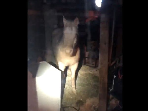 A horse is seen in the basement of a home in Inver Grove Heights
