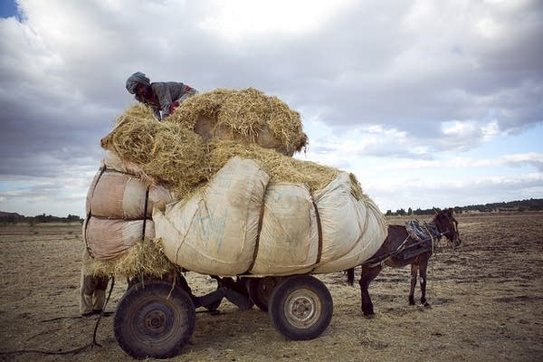 Teff being collected after a day of threshing