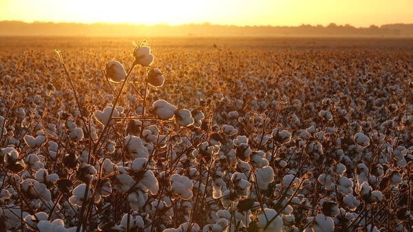A cotton field near Parchman, Mississippi.