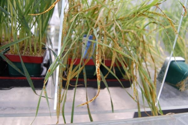 Spores of wheat rust