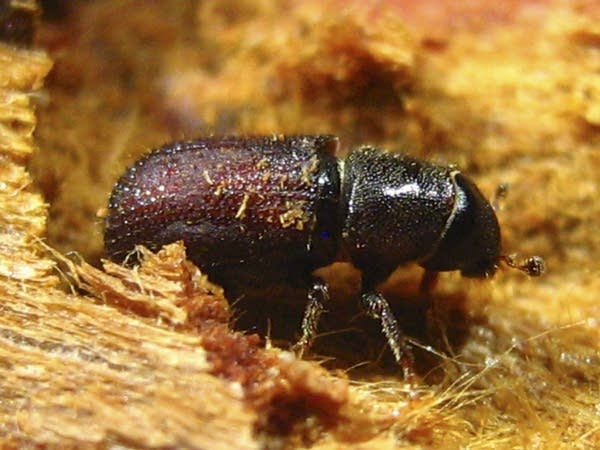 Eastern larch bark beetle
