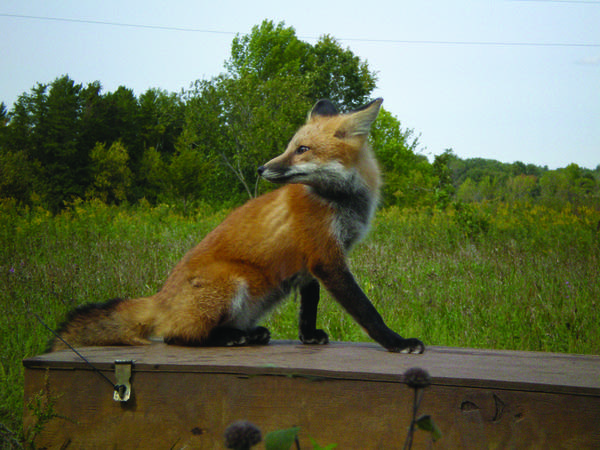 Rehabilitated red fox
