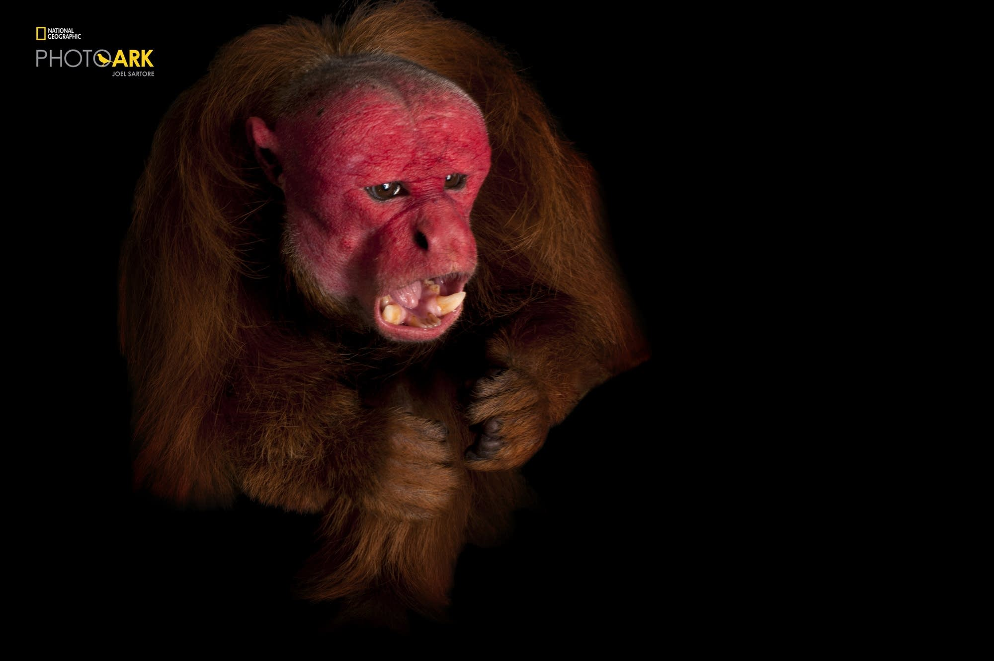 A rare red uakari monkey, Cacajao calvus, at Los Angeles Zoo.