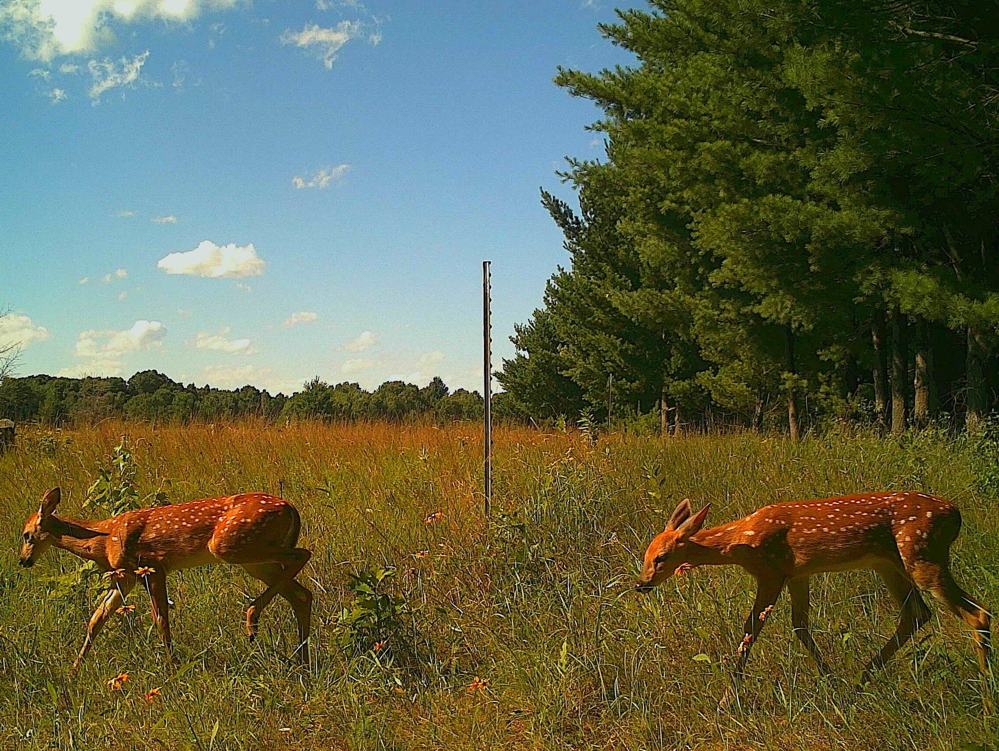 Two deer captured by trail cameras.