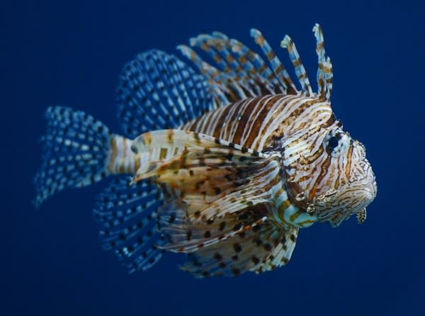 A winged lionfish