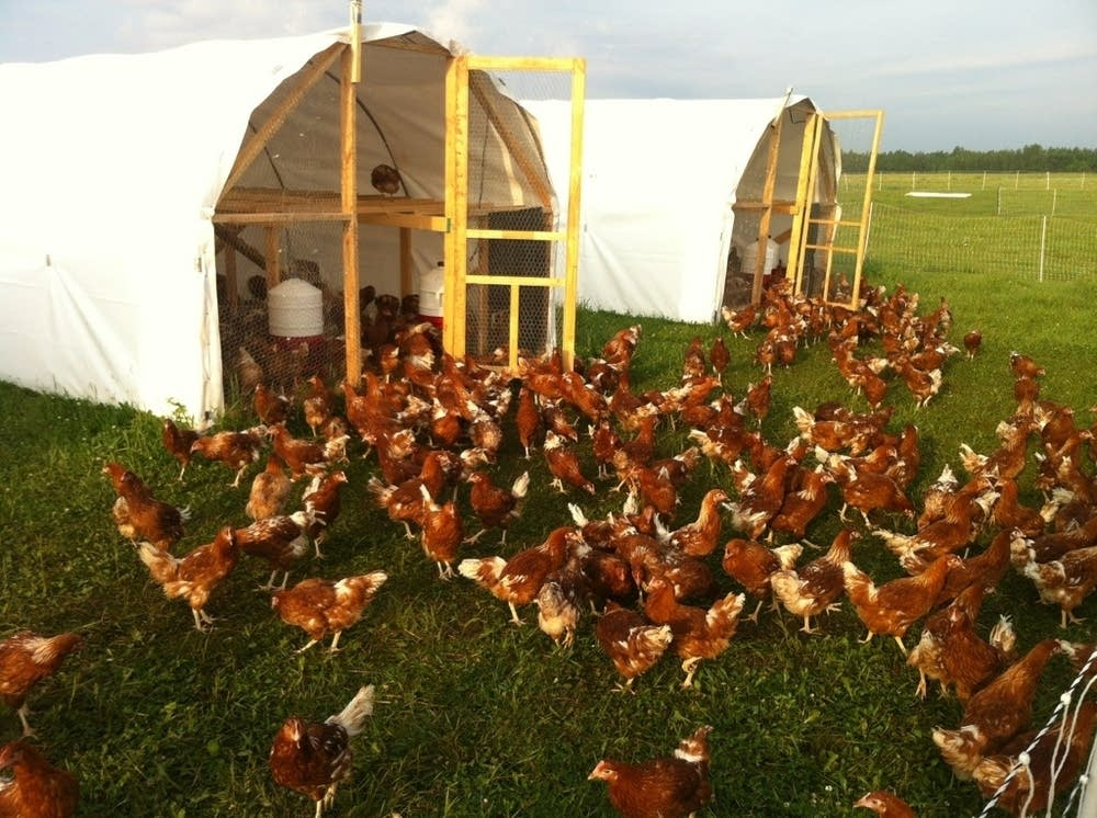 Chickens in the pasture at Locally Laid