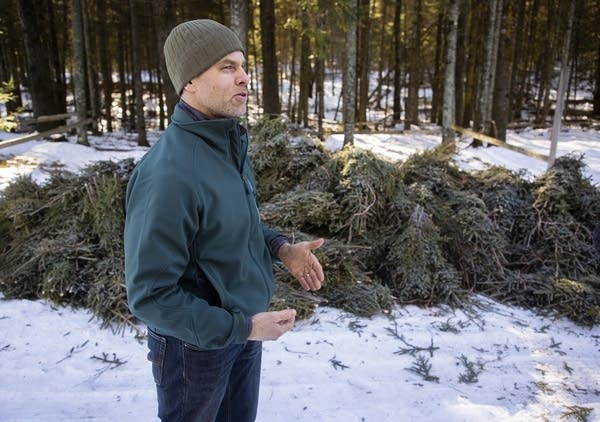 A man standing beside a pile of spruce tips.