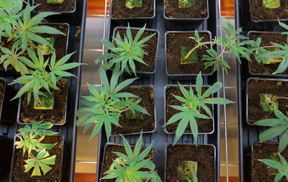 Marijuana plants grow at LeafLine Labs.