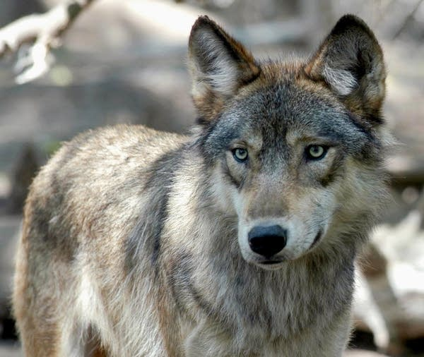 A gray wolf is shown at the Wildlife Science Center in Forest Lake, Minn.