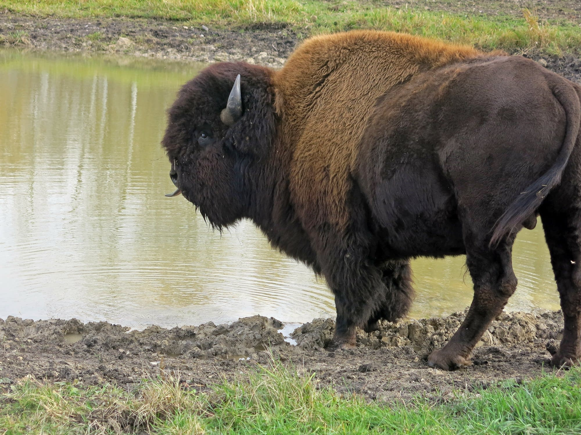Marvin's buffalo herd roams nearly 300 acres.