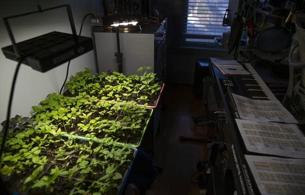 Plants grow in trays under a grow light in an attic.