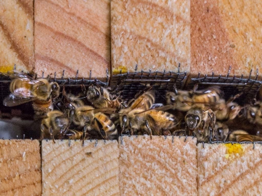 Having escaped their crates, worker bees try to take care of the queen.