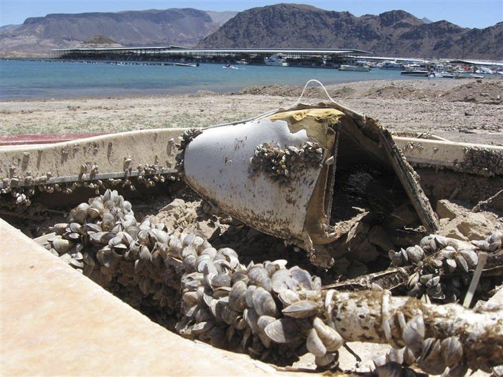 Invasive quagga mussels