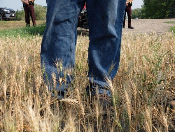a man stands in a a wheat field