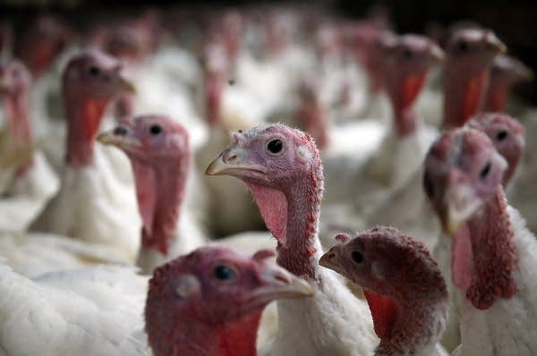 California turkey farm supplied Thanksgiving birds