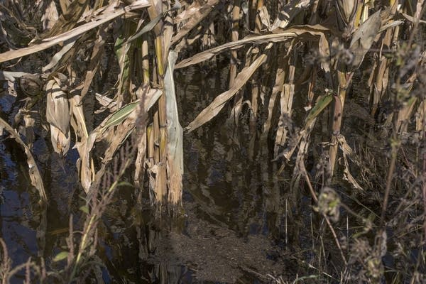 Cornfields are flooded with about six inches of water near Hector, Minn.