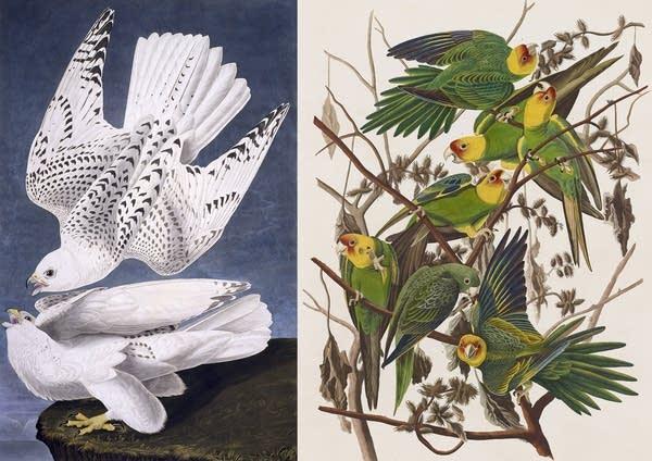 Gyrfalcon, left, parakeet, right