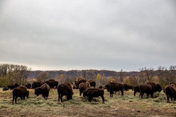 Dozens of bison graze in a field in front of fall trees.