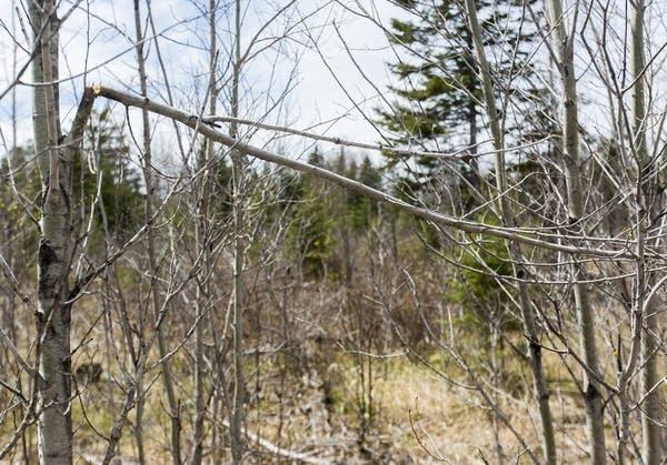 Branch broken by a grazing moose.