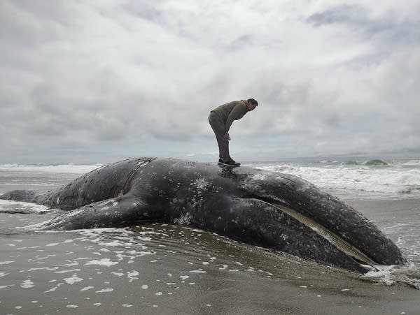 A dead whale at Ocean Beach in San Francisco