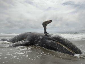 A dead whale at Ocean Beach in San Francisco