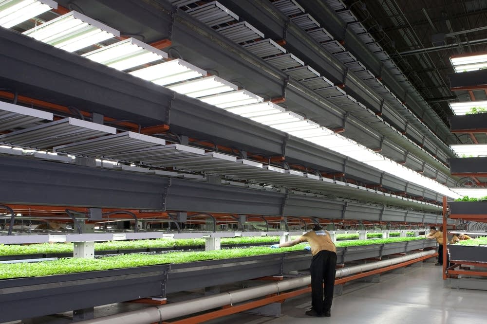 In A Chicago Suburb An Indoor Farm Goes Mega Mpr News