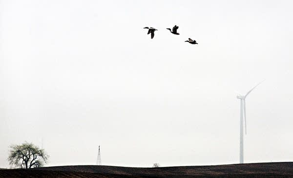 Ducks and turbine