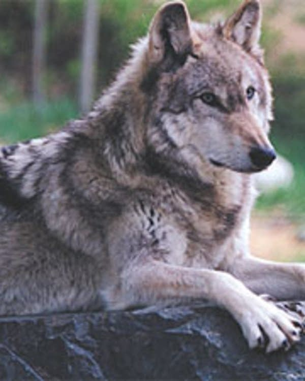 Funding Expires To Capture Remove Protected Timberwolves Mpr News