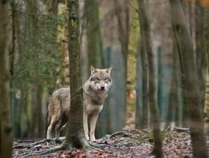 A wolf is seen in its enclosure at a zoo in Thale, Germany