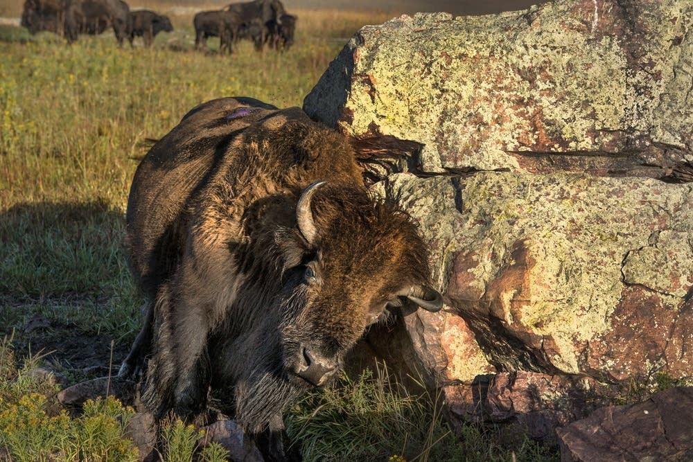 A bison rubs against a boulder.