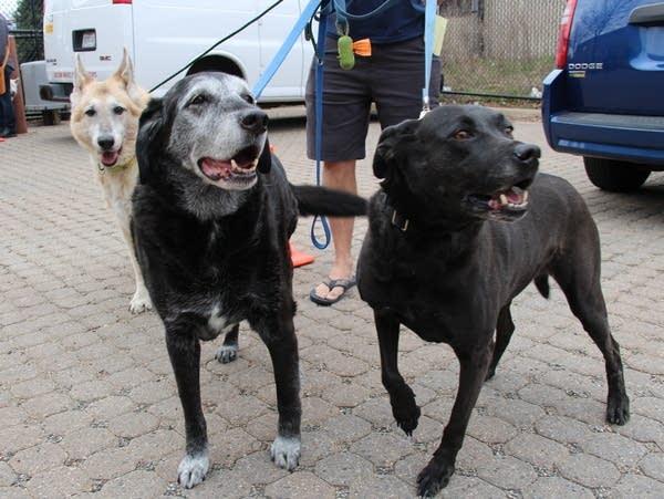 Piper, a German shepard, Logan, a lab mix, and Ellie, a pit bull mix.