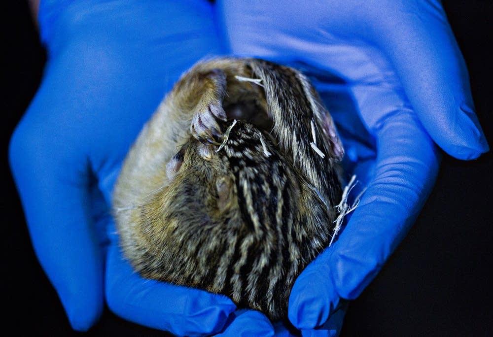 Thirteen-lined ground squirrel in hibernation