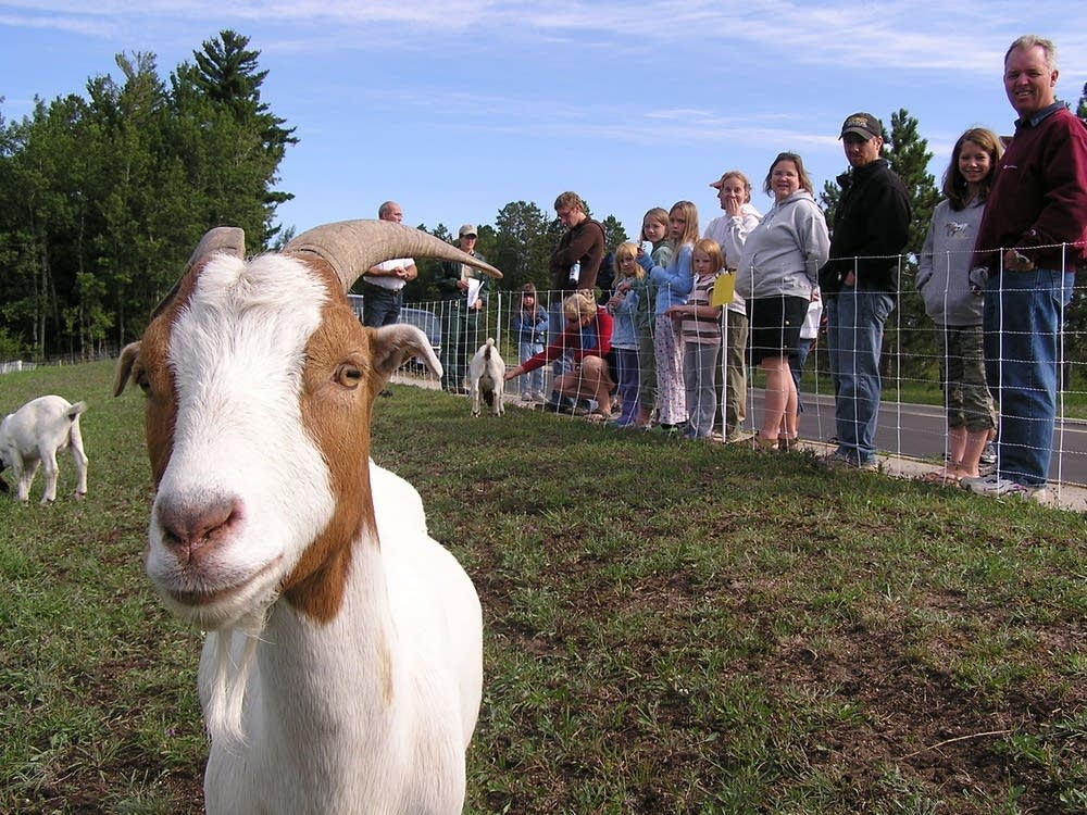 Goat with crowd