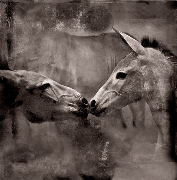 'Kissing donkeys' from Ann Marsden's journals