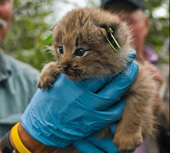 A Canada lynx kitten is measured by a wildlife biologist
