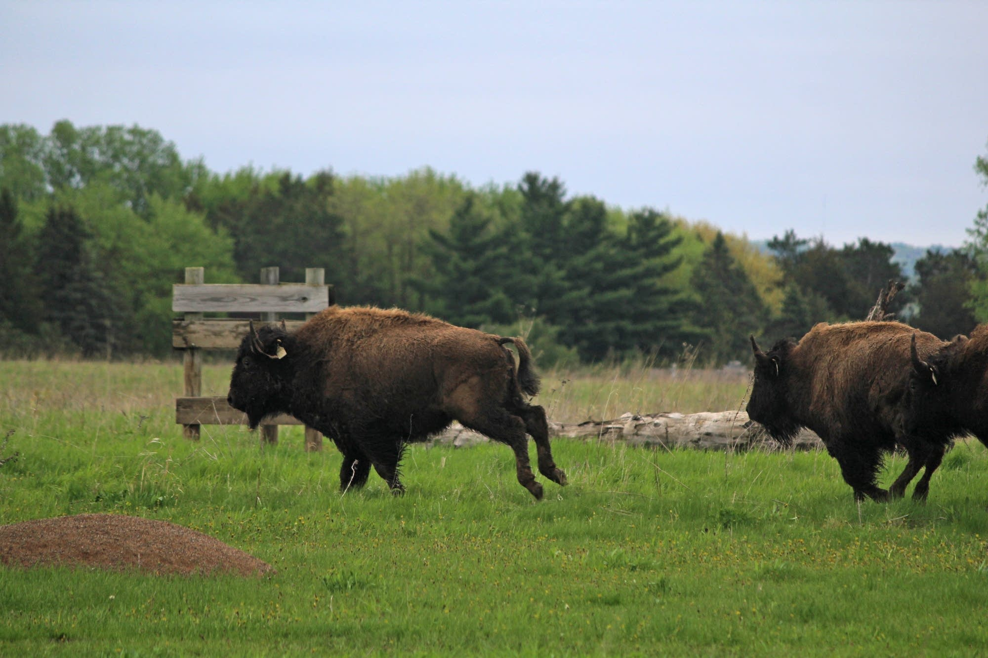 The bison released ranged from 400 to 600 pounds