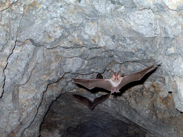 California leaf-nosed bat at Joshua Tree National Park.