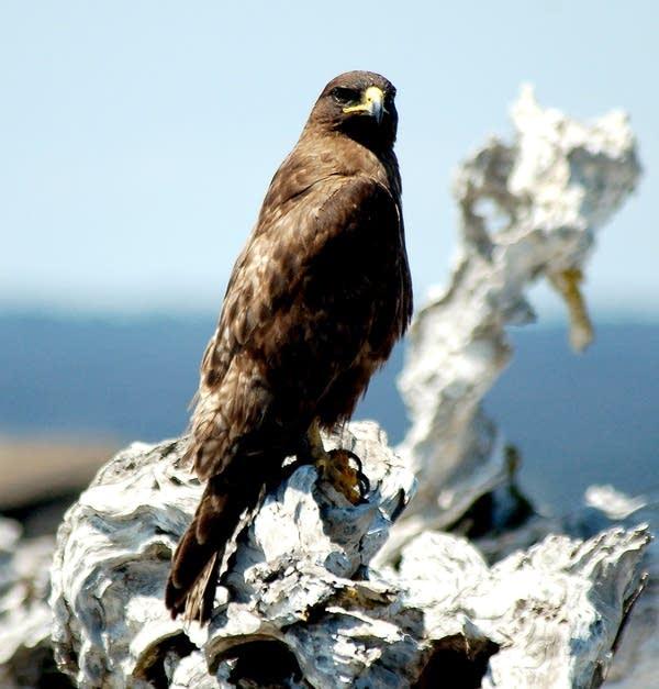 Galapsgos hawk