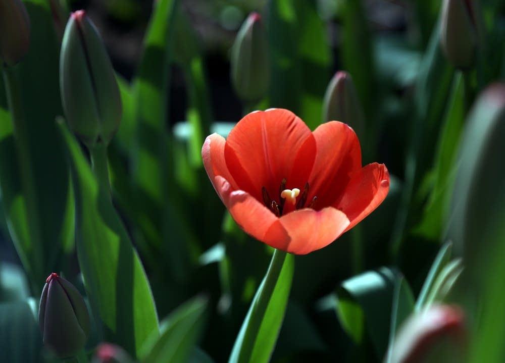 Tulip opening
