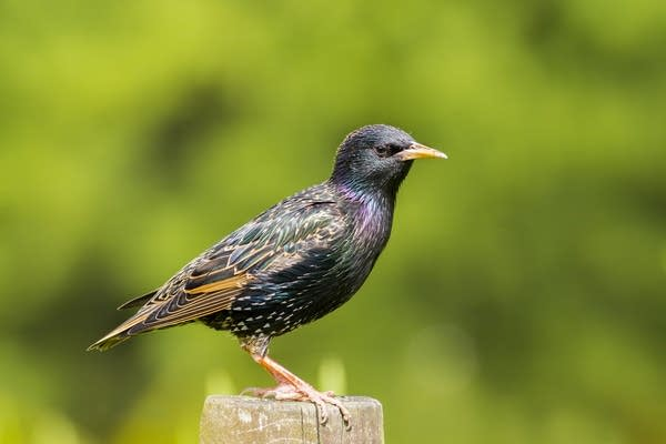 Stock photo of a starling from Getty Images